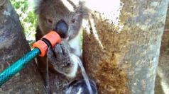 Thirsty koala drinking from garden hose