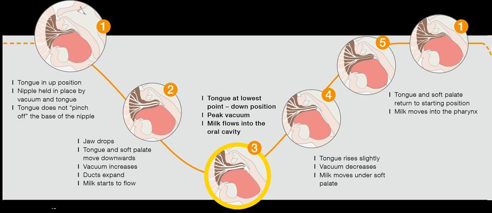 Infant sucking   Research   Medela